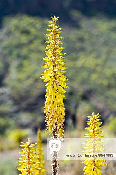 Aloe vera (Aloe vera)  Gran Canaria  Canary Islands  Spain  Europe