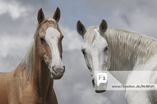 Two wild horses  Pyrenees  France  Europe