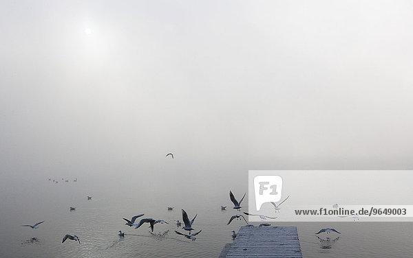 Gulls at the wooden jetty in the morning fog  Mondsee Lake  Salzkammergut  Upper Austria  Austria  Europe