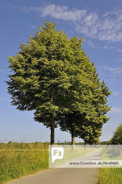 Linden (Tilia)  Baumallee  Radweg  Nordrhein-Westfalen  Deutschland  Europa