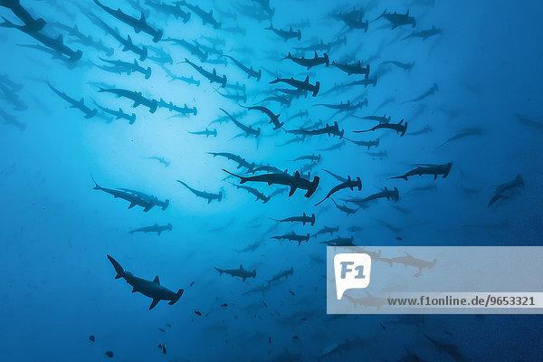 Schwarm Bogenstirn-Hammerhaie (Sphyrna lewini)  Cocos Island  Kokos-Insel  Costa Rica  Nordamerika