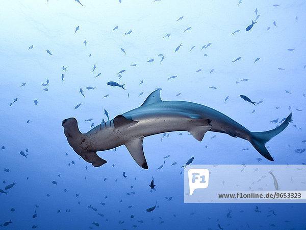 Bogenstirn-Hammerhai (Sphyrna lewini)  Cocos Island  Kokos-Insel  Costa Rica  Nordamerika