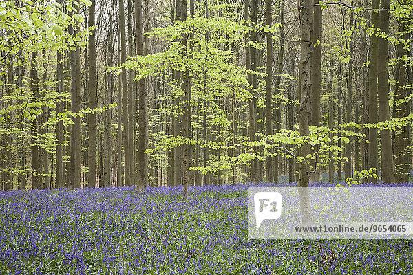 Bluebells (Hyacinthoides non-scripta) in a beech forest  Hallerbos  Belgium  Europe