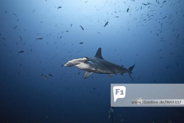 Bogenstirn-Hammerhai oder Gekerbter Hammerhai (Sphyrna lewini)  Kokos-Insel  Costa Rica  Nordamerika