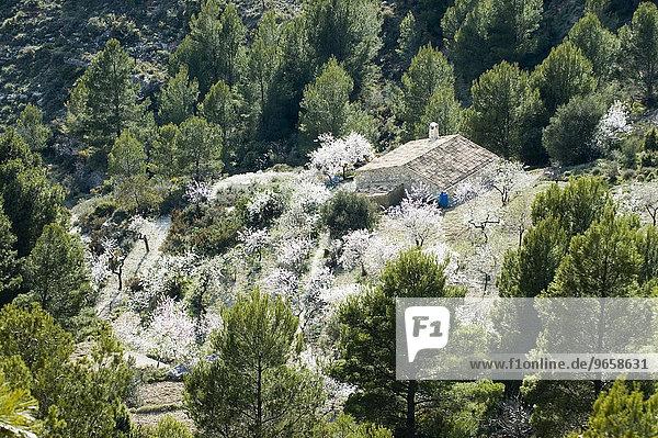 Finca umgeben von blühenden Mandelbäumen im Frühling in den Bergen an der Costa Blanca  Spanien  Europa