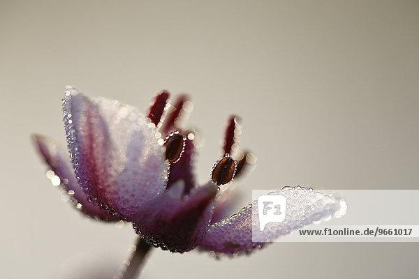 Flowering Rush (Butomus umbellatus)  individual flower  Middle Elbe Biosphere Reserve  Saxony-Anhalt  Germany  Europe