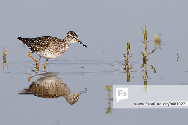 Wood Sandpiper (Tringa glareola)  standing in the water  foraging  Middle Elbe Biosphere Reserve  Saxony-Anhalt  Germany  Europe