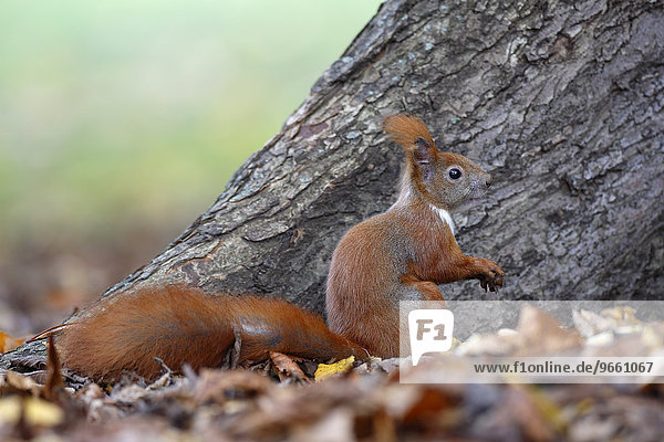 Red Squirrel (Sciurus vulgaris)  on the ground in a park  Leipzig  Saxony  Germany  Europe