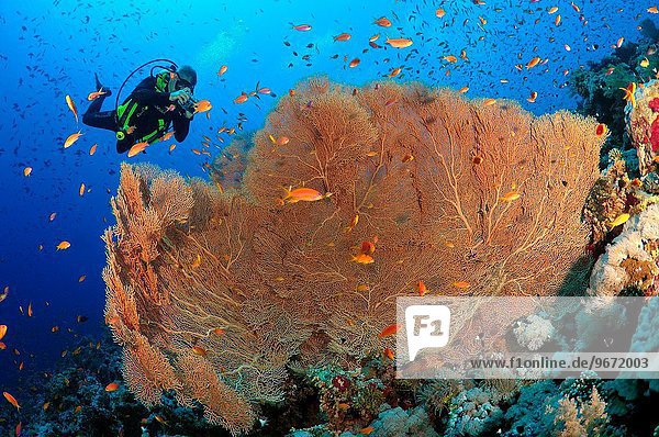 lila fotografieren Gorgonie Rotes Meer