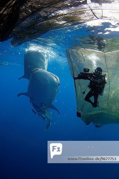 A diver films whale sharks  Rhincodon typus  under a fishing platform  these sharks are friends with the fishermen who hand feed them at Cendrawasih Bay  West Papua  Indonesia  Pacific Ocean (No MR).