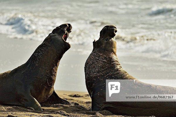 Vereinigte Staaten von Amerika USA arbeiten Kampf Geographie Tierkolonie Kolonie Nördlicher Seeelefant mirounga angustirostris Zucht Kalifornien San Simeon