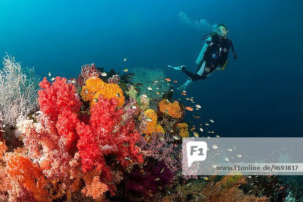 Scuba Diver and colored Coral Reef  Triton Bay  West Papua  Indonesia.