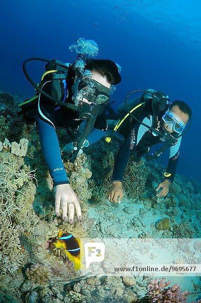 sehen 2 Afrika Clownfisch Harlekinfisch Ägypten Rotes Meer