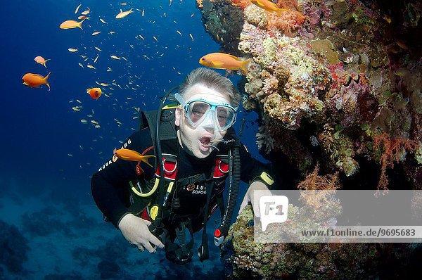 Afrika Ägypten Rotes Meer Lippfisch