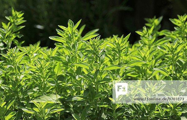 Oreganopflanzen im Freien