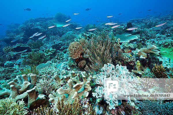 Reef of Hard Corals and Leather Corals  Acropora  Tanimbar Islands  Moluccas  Indonesia.