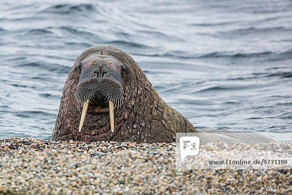 Walross Odobenus rosmarus Bulle Stier Stiere Bullen Strand Norwegen Atlantischer Ozean Atlantik Spitzbergen Erwachsener Svalbard
