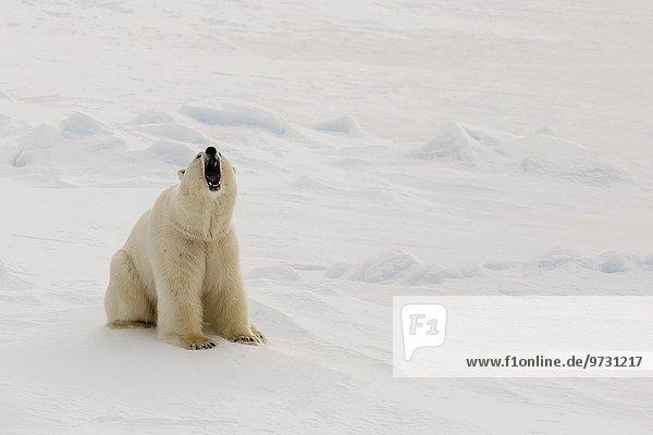 Eisbär Ursus maritimus Meer Eis Norwegen Spitzbergen Meerenge Svalbard Jahr