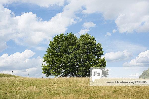 Stieleichen (Quercus robur) im Spätsommer  Niedersachsen  Deutschland  Europa Stieleichen (Quercus robur) im Spätsommer, Niedersachsen, Deutschland, Europa