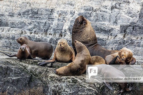 Außenaufnahme klein Insel heulen - Tierlaut Argentinien Zucht