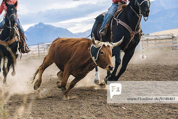 Europäer nachlaufen Rind Rodeo