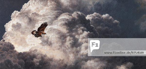 Steinadler Aquila chrysaetos fliegen fliegt fliegend Flug Flüge Sturm Bewölkung bewölkt bedeckt