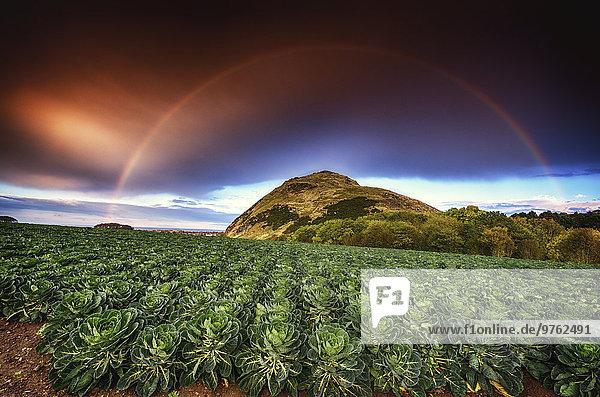 UK  Schottland  East Lothian  Regenbogen über einem Feld von Rosenkohl