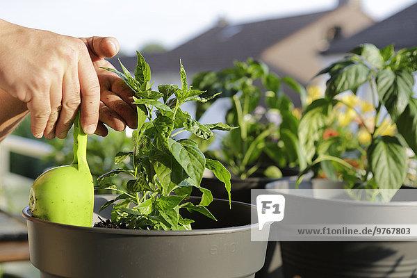 Junge Pflanze wird in einen Blumentopf gepflanzt
