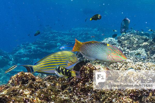 Schachbrett Südostasien Asien Indonesien Lippfisch