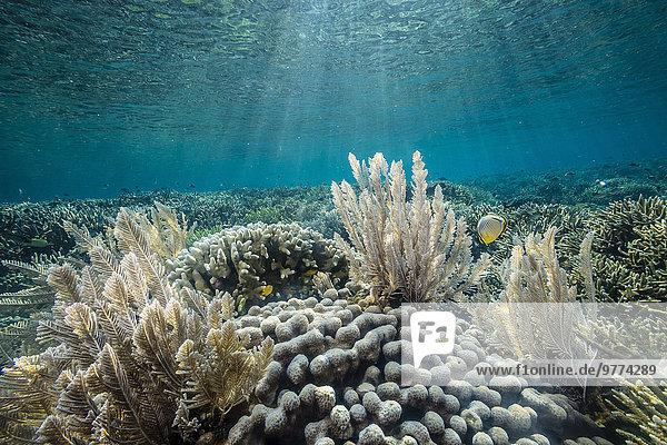 Fisch Pisces Unterwasseraufnahme unter Wasser Insel Koralle Südostasien Asien hart Indonesien Riff Weichheit