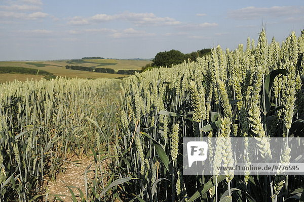 Europa Großbritannien Nutzpflanze Hintergrund reif Weizen England Wiltshire