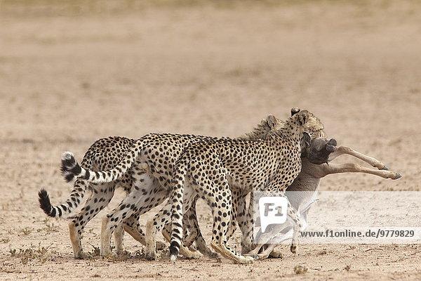 Südliches Afrika Südafrika Gepard Acinonyx jubatus ziehen töten Afrika Baby Gnu