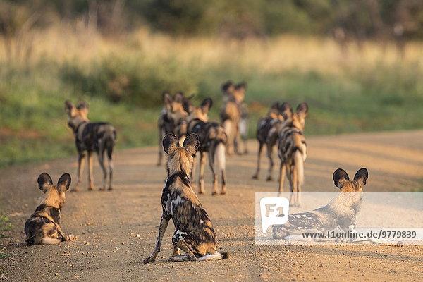 Südliches Afrika Südafrika Wildhund Afrika