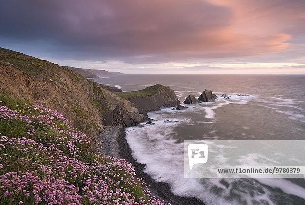 Europa sehen Blume Großbritannien Meer Kai Wildblume pink zeigen Devon England
