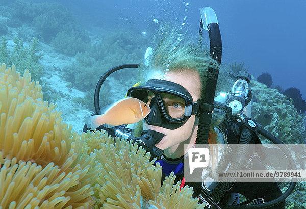 Taucherin betrachtet einen Halsband-Anemonenfisch (Amphiprion perideraion)  Mindanaosee  Cebu  Philippinen  Asien