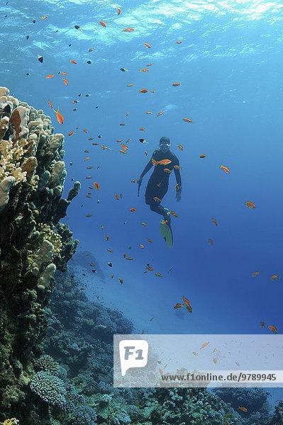 Freitaucher beim Tauchgang an einem Korallenriff  Rotes Meer  Ägypten  Afrika