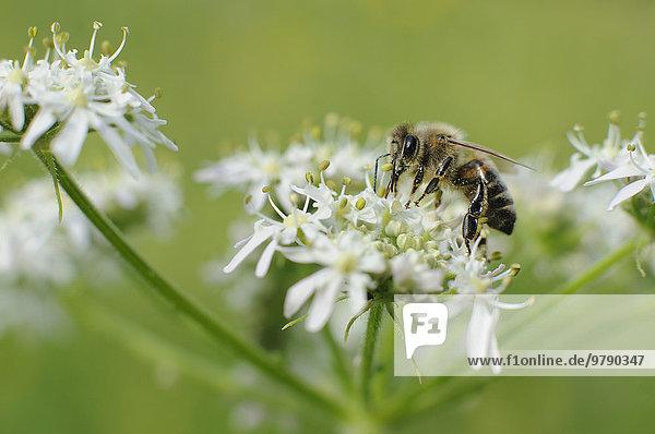 Honigbiene (Apis mellifera) trinkt Nektar an der Blüte des Wiesen-Bärenklaus (Heracleum sphondylium)  Baden-Württemberg  Deutschland  Europa