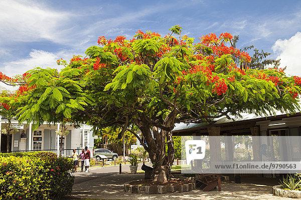 Blühender Tamarindenbaum (Tamarindus indica) in Nelson's Dockyard  English Harbour  Antigua  Antigua und Barbuda  Nordamerika Blühender Tamarindenbaum (Tamarindus indica) in Nelson's Dockyard, English Harbour, Antigua, Antigua und Barbuda, Nordamerika