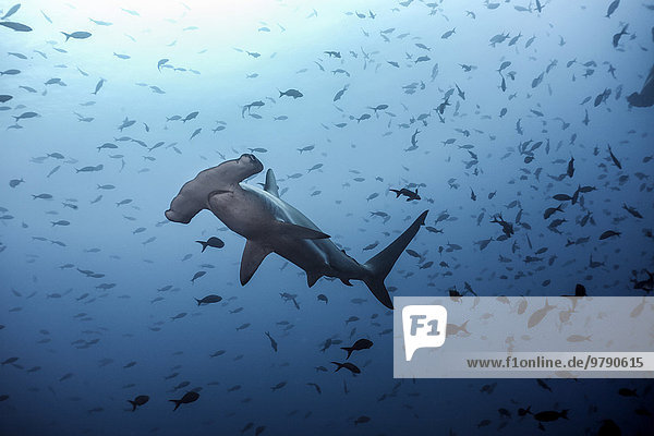Bogenstirn-Hammerhai  (Sphyrna lewini)  Cocos Island  Costa Rica  Nordamerika