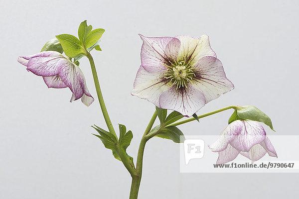 'Lenzrose (Helleborus orientalis Hybride ''Picotee'')  Emsland  Niedersachsen  Deutschland  Europa'