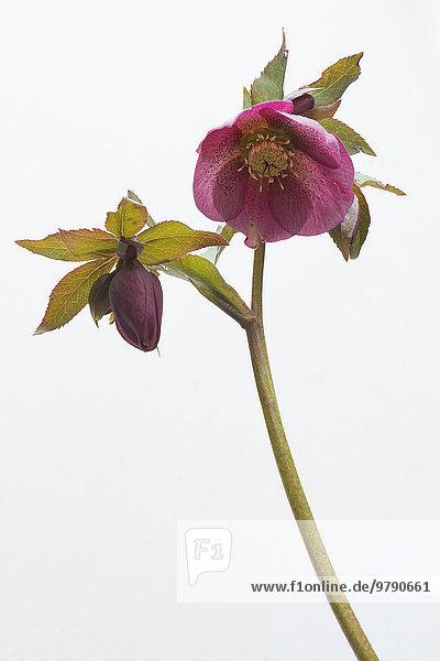 Lenzrose (Helleborus orientalis Hybride)  Emsland  Niedersachsen  Deutschland  Europa