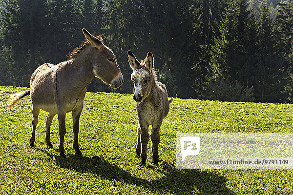 Donkey (Equus africanus asinus) and foal in a field  South Tyrol  Italy  Europe