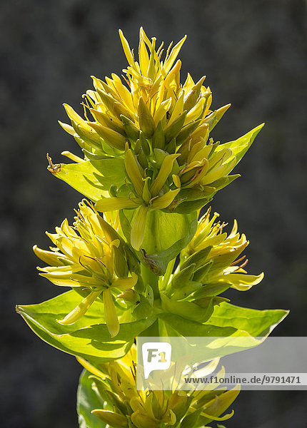 Gelber Enzian (Gentiana lutea)  Katalonien  Spanien  Europa