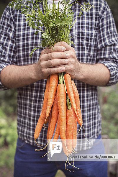 Mittelteil des Mannes  der frisch geerntete Karotten auf dem Biobauernhof hält.