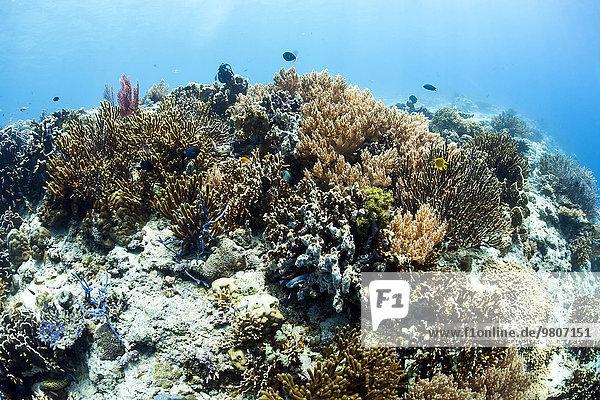 Coral reef at Menjangan  Bali  Indonesia island