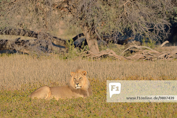 Lion (Panthera leo)  male  lying in the grass  morning light  Kgalagadi Transfrontier Park  Northern Cape  South Africa  Africa