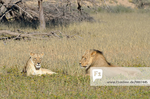 Lions (Panthera leo) couple  male and female  lying in the grass  Kgalagadi Transfrontier Park  Northern Cape  South Africa  Africa