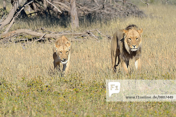 Lions (Panthera leo) couple  male and female  walking in the grass  Kgalagadi Transfrontier Park  Northern Cape  South Africa  Africa