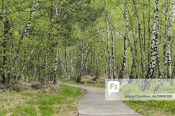 Boardwalk through the birch forest in the Venner Moor Nature Reserve  North Rhine-Westphalia  Deuschland