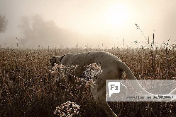 Deutschland  Jagdhund im Morgenlicht